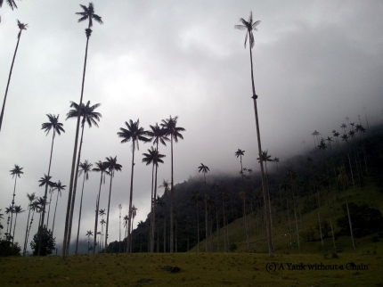 The tallest palm trees in the wold in the Cocora Valley