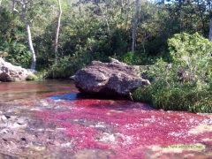 The bright algae blossoms of Caño Cristales