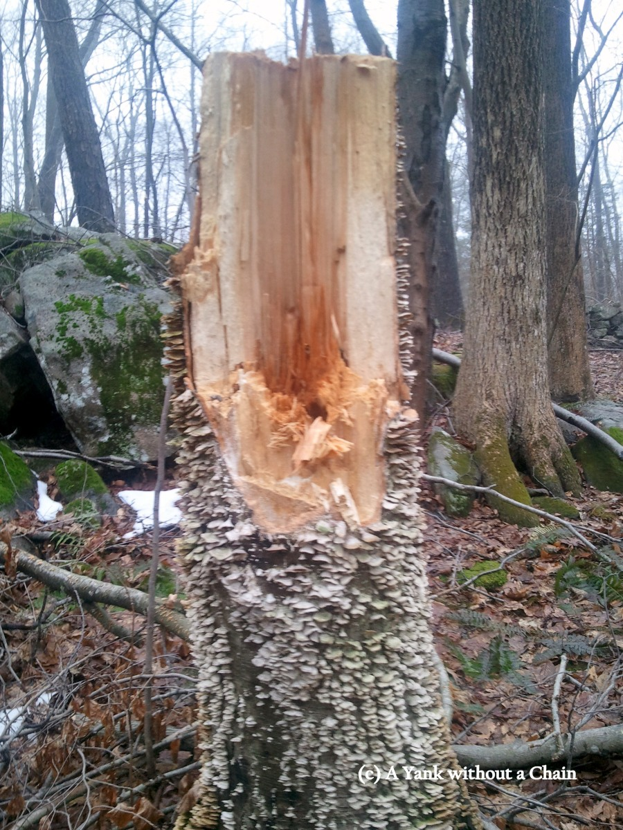 Shelf mushrooms growing on a tree trunk, another likely victim of Hurricane Sandy