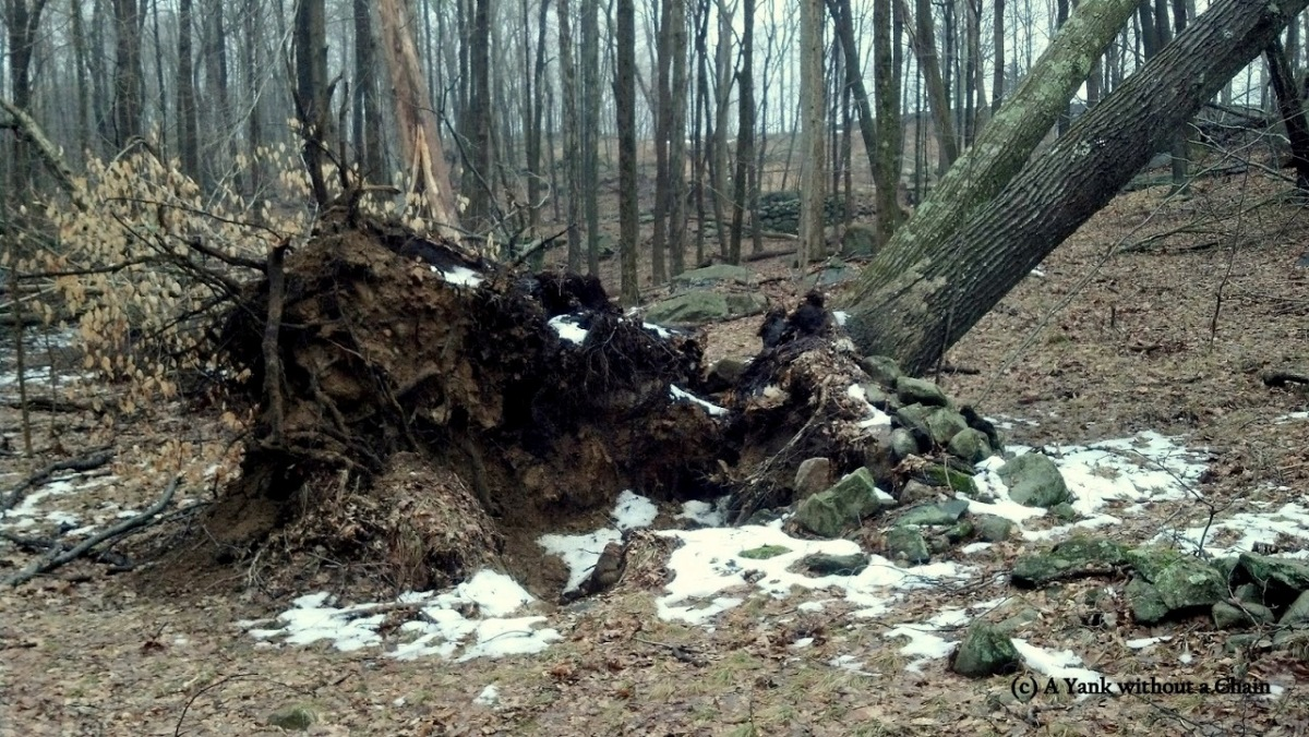 A likely victim of Hurricane Sandy in the Weir Preserve