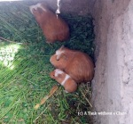 Guinea pigs, before they are cuy