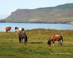 Horses grazing at Bakkagerdi