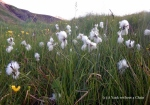 Some of the wildflowers in Iceland, seen near Brunavik