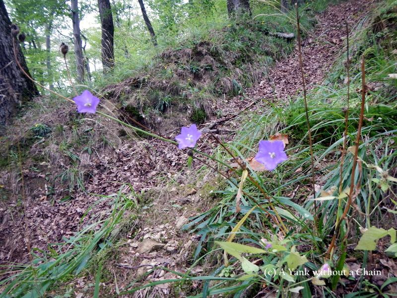 Gorgeous purple flowers in Cisnadioara