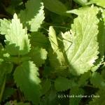 A grasshopper near Veliko Tarnovo
