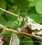 The most awesome grasshopper I have ever seen