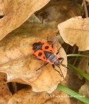 An orange and black bug - possibly a milkweed bug? - that was abundant throughout the Balkans