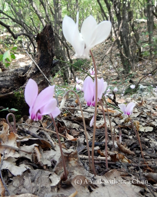 Abundant white and purple flowers in the forest outside Veliko Tarnovo