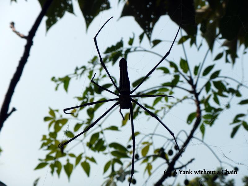 A massive spider seen on the Lantau Trail