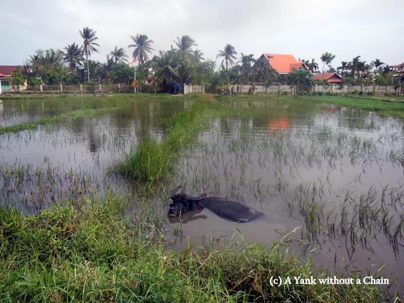 A water buffalo in Hoi An