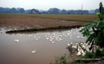 Ducks in the paddy fields near Ninh Binh
