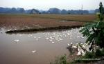 Ducks in the paddy fields near Ninh Binh