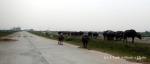 Water buffalo walking near Ninh Binh