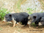 There were loads of baby pigs on the trails!