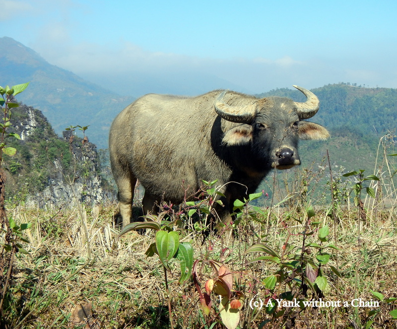 An intimidating but docile water buffalo