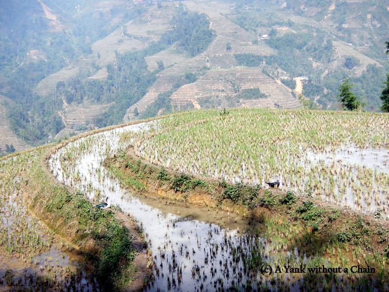 Ducks bathing in the rice terraces outside Ta Phin