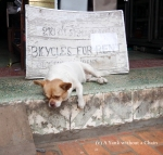A dog in Luang Prabang, not too excited about a bike rental!