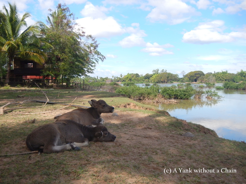 Baby buffalo admiring the Mekong from Don Det