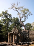 A tree growing from the top of Ta Prohm