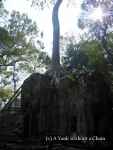 A tree growing at Ta Prohm