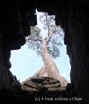 A tree growing from the top of Preah Kahn
