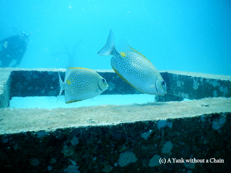 I believe these are rabbit fish, hanging out on one of the buoyancy tools at No Name dive site, Koh Tao.