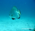 A bat fish in Koh Tao, Thailand.