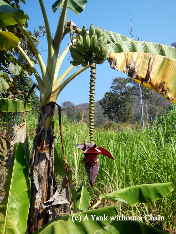 A banana tree at Pai's stone forest