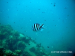 A sergeant major fish in Koh Tao