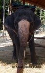 An elephant at Namuang Park on Koh Samui. I did NOT support the cruel treatment of these glorious animals by paying for a ride, but couldn't resist snapping a picture.