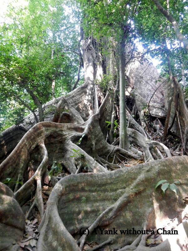 The impressive root system of a tree at Khao Sok National Park