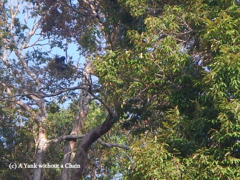 A black primate sitting in a tree above Chiew Lan Lake