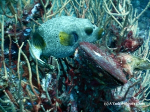 A seal faced pufferfish in Mango Bay