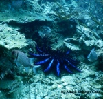 A bright blue sea urchin and a bigeye