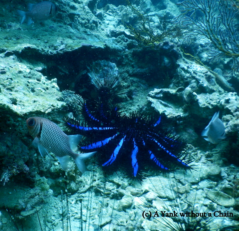 A bright blue sea urchin and a bigeye