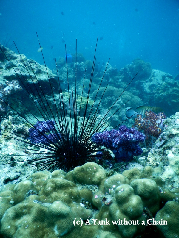 A black sea urchin with gorgeous purple coral