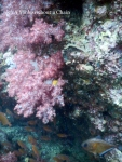 Bright purple coral with a copper sweeper below