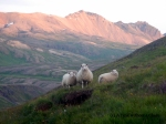 Some sheep in Bakkagerdi, Iceland. This photo was taken at 10:30pm!