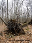 An uprooted tree at Devil's Den