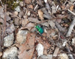 A beautiful green beetle at Devil's Den