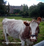 A cow at the Collingswood Children's Farm and the Abbotsford Convent in the background