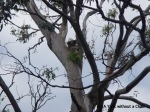 A wild koala in a tree near Cape Otway