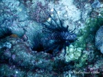 A black and white lionfish at Shag Rock