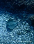 A blue spotted stingray at Shag Rock