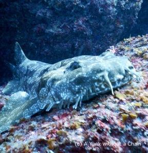 Up close and personal with a wobbegong carpet shark at Shag Rock, a dive site off North Stradbroke Island