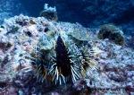 An awesome sea urchin