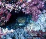 An adorable porcupine fish at Shag Rock