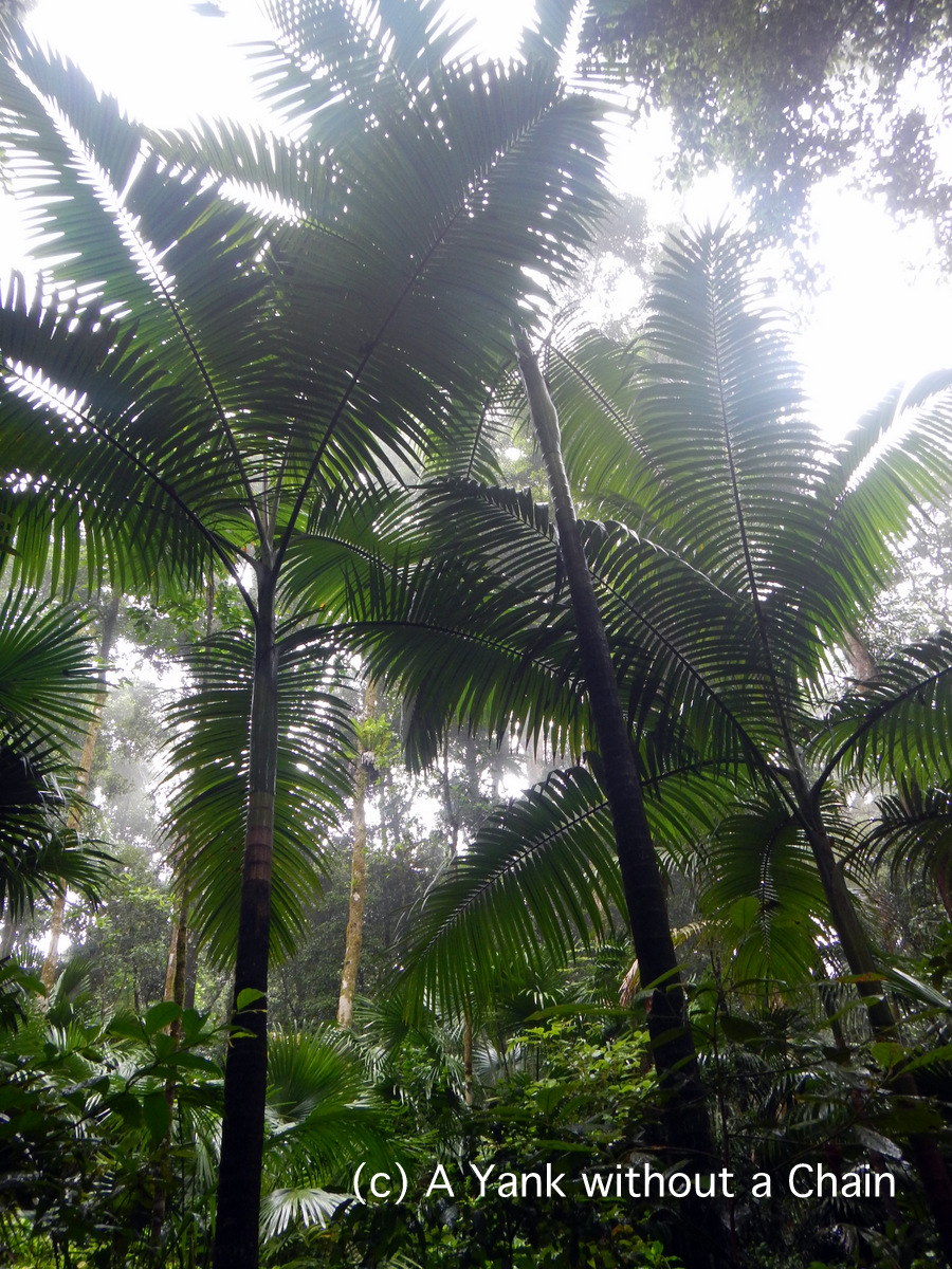 Giant fern trees in Eungella National Park