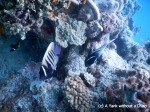 Six-banded angelfish at Challenger Bay