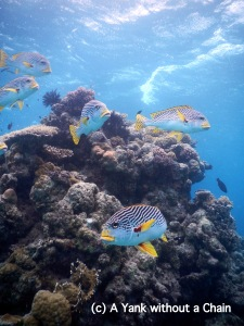 Yellow-Banded Sweetlips at Challenger Bay in the Great Barrier Reef